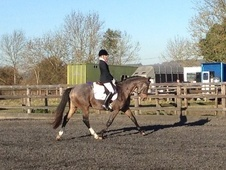All Rounder horse - 7 yrs 16.1 hh Chestnut - Kent