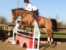 All Rounder horse - 12 yrs 16.1 hh Bright Bay - Hertfordshire