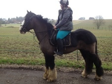 All Rounder horse - 7 yrs 11 mths 15.3 hh Black - West Sussex