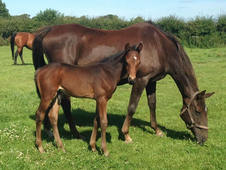 Brood Mare In Foal For 2015 To Temple Valentino