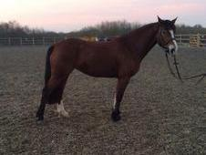 Stunning 14'2 welsh x Bay Mare 6 years old lovely nature top work...
