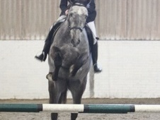 Show Jumpers horse - 4 yrs 1 mth 16.3 hh Iron Grey - Kent