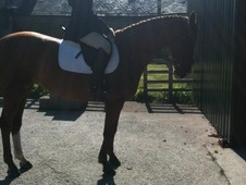 Smart Pony Club / Riding Club / Dressage Horse