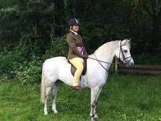 Quality Welsh Section B 6 year old Gelding
