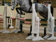 Show Jumpers horse - 6 yrs 11 mths 16.0 hh Grey - Staffordshire