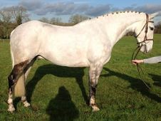 All Rounder horse - 6 yrs 16. 0 hh Dapple Grey - East Sussex