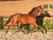 Quality, Good Looking 2013 Bay Hanoverian Gelding