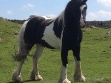 13. 2hh 2 Year Old. Fell Pony/cob