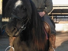 Cobs horse - 11 yrs 14.1 hh Black - Cheshire