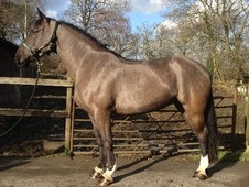 All Rounder horse - 5 yrs 16.2 hh Black - Kent