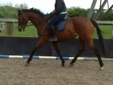 All Rounder horse - 7 yrs 6 mths 16.1 hh Bay - North Yorkshire