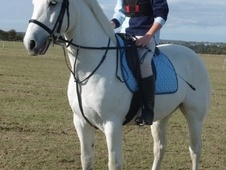 All Rounder horse - 11 yrs 14.2 hh Grey - Essex