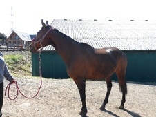 All Rounder horse - 14 yrs 16.0 hh Bay - County Durham
