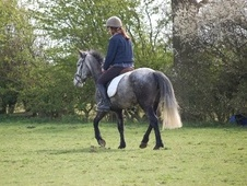 All Rounder horse - 6 yrs 13.2 hh Steel Grey - North Yorkshire