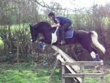 All Rounder horse - 7 yrs 14.2 hh Piebald - West Midlands
