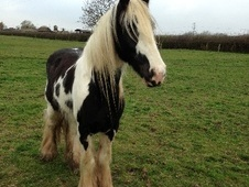 All Rounder horse - 5 yrs 4 mths 14.1 hh Piebald - Gloucestershire