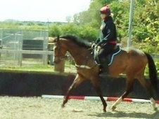 All Rounder horse - 4 yrs 6 mths 16.0 hh Bay - North Yorkshire