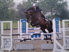 Pretty 6 Year Old 16. 2hh Dark Bay Mare