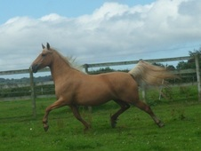 Stunning Palomino Welsh Part-bred Mare With Extravagant Action An...