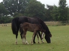 New Forest Brood Mare/ Companion