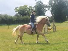 beautiful allrounder haflinger. no vices. gentle