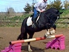 All Rounder horse - 7 yrs 3 mths 14.1 hh Black - Gloucestershire