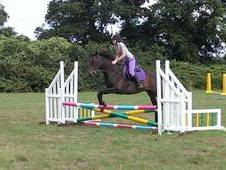 Tb Gelding For Sale 15. 3hh 13 Years Old