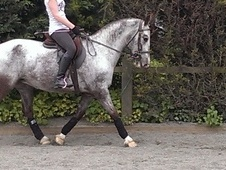 All Rounder horse - 8 yrs 8 mths 15.0 hh Grey - West Sussex