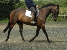 All Rounder horse - 14 yrs 15.2 hh Bay - Lincolnshire