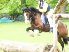 Pony Club Ponies horse - 9 yrs 9 mths 12.1 hh Bay - Gwent