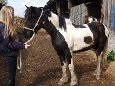 Coloured horse - 2 yrs 15.0 hh Coloured - Wiltshire
