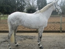 All Rounder horse - 7 yrs 16.1 hh Grey - Leicestershire
