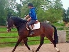 All Rounder horse - 5 yrs 16.2 hh Bay - Cheshire