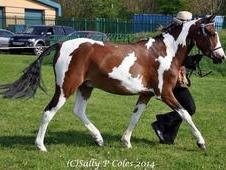 Fabulous Tobiano 3 Year Old Gelding.