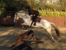 Clare Queen, 7yr Old, 145cm At Reg 14. 2hh, Grey Class1 Registere...