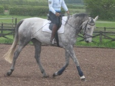 Broodmares horse - 11 yrs 11 mths 16.3 hh Grey - North Yorkshire