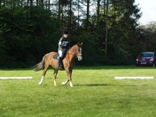 All Rounder horse - 5 yrs 15.3 hh Chestnut - Essex
