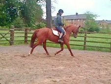 All Rounder horse - 4 yrs 15.0 hh Chestnut - Cheshire
