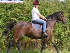 Grace, 12. 3h, British Riding Pony part bred, Mare - Somerset