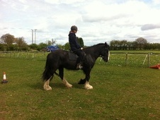 All Rounder horse - 5 yrs 15.2 hh Black - West Midlands