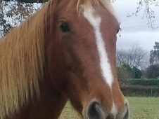 All Rounder horse - 6 yrs 10 mths 16.0 hh Chestnut - Shropshire