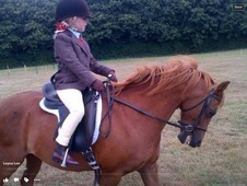 Perfect welsh B gelding for sale