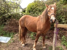 Young Stock  horse - 2 yrs 0.0 hh Chestnut - Clwyd