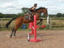All Rounder horse - 9 yrs 16.1 hh Bay - Lincolnshire