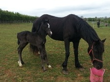 Broodmares horse - 14 yrs 15.0 hh Black - Leicestershire