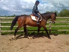 All Rounder horse - 10 yrs 16.0 hh Bay - Cheshire
