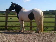 Beautiful 14. 2 Cob Mare