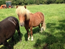 3 Falabella Yearling Colts