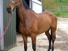 All Rounder horse - 9 yrs 17.2 hh Bright Bay - West Sussex