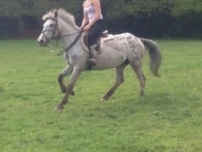All Rounder horse - 8 yrs 14.1 hh Appaloosa - West Midlands